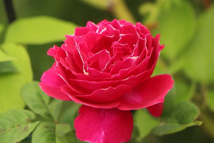 「美野里 フェイバリット ガーデン」  & 素晴らしいイングリッシュ・ガーデン O邸 _d0150720_14301798.jpg