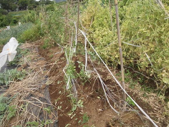 エンドーの収穫が終焉を迎えました。_b0137932_7343344.jpg