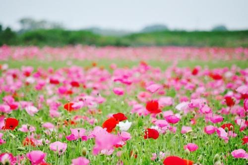 鴻巣市のポピー畑に行ってきました(わたしのお気に入り)_f0318142_17105279.jpg