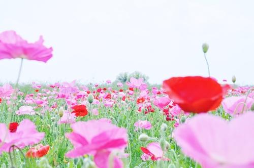 鴻巣市のポピー畑に行ってきました(わたしのお気に入り)_f0318142_1713273.jpg