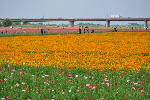 鴻巣市のポピー畑に行ってきました(わたしのお気に入り)_f0318142_1793081.jpg