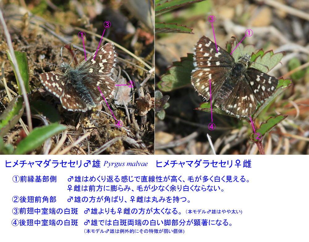 ヒメチャマダラセセリ 卵発見 雌雄比較、類似種比較 2014.5.25北海道02_a0146869_60915.jpg