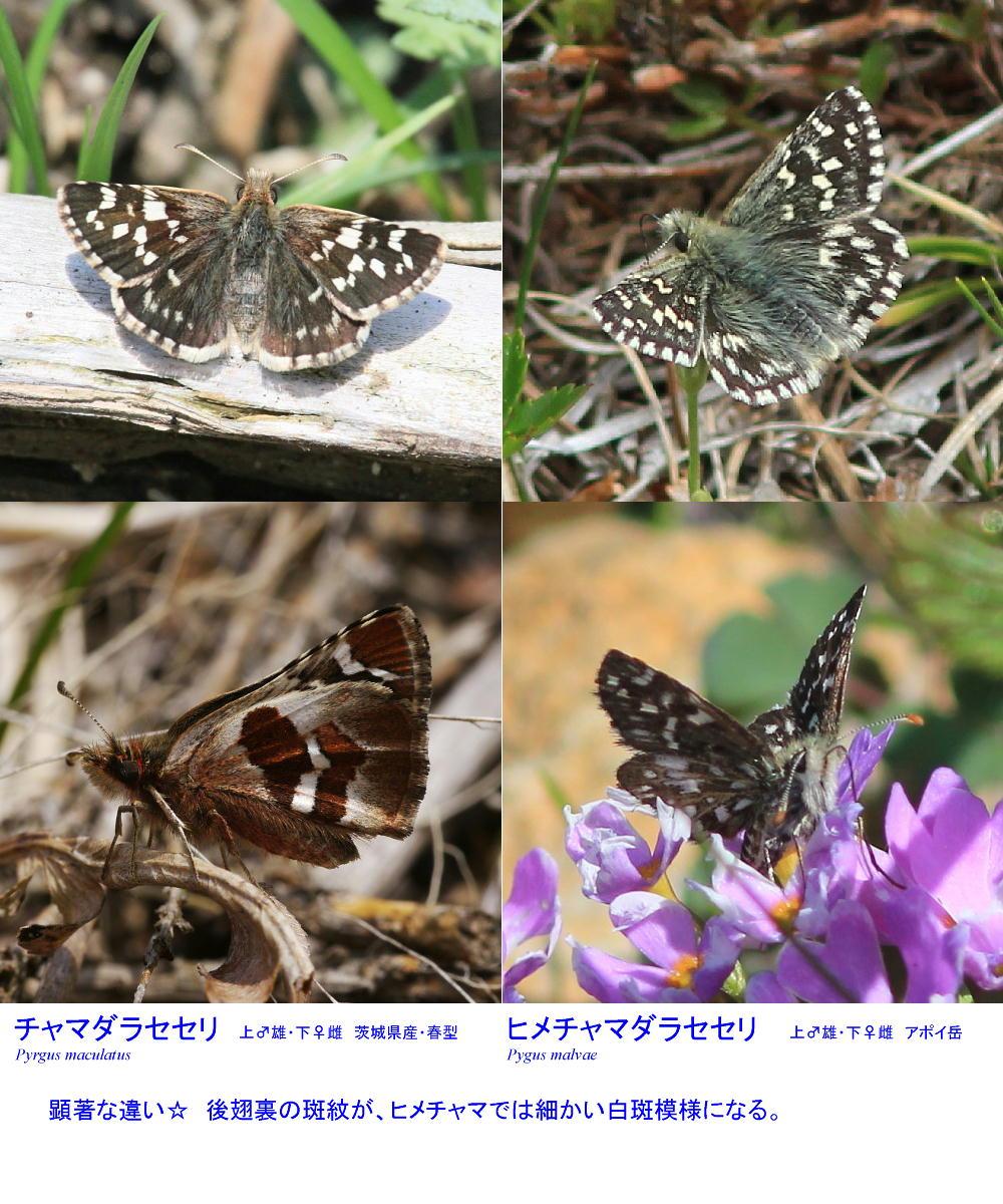 ヒメチャマダラセセリ 卵発見 雌雄比較、類似種比較 2014.5.25北海道02_a0146869_6131140.jpg
