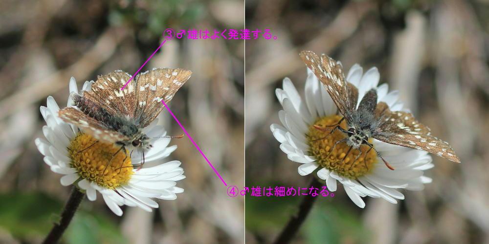 ヒメチャマダラセセリ 卵発見 雌雄比較、類似種比較 2014.5.25北海道02_a0146869_692764.jpg