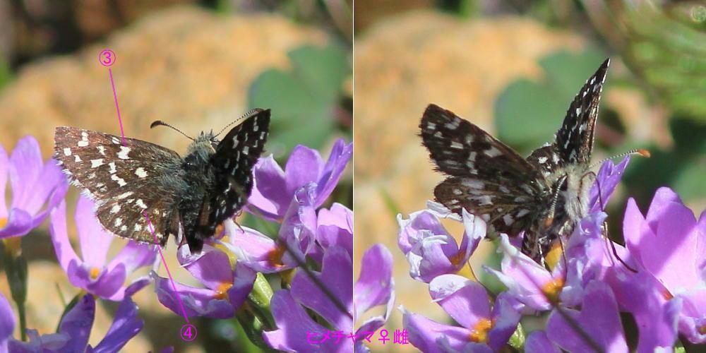 ヒメチャマダラセセリ 卵発見 雌雄比較、類似種比較 2014.5.25北海道02_a0146869_693769.jpg