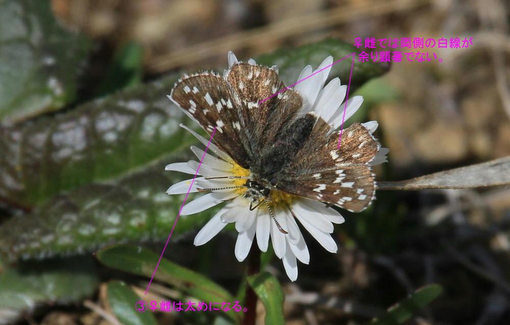ヒメチャマダラセセリ 卵発見 雌雄比較、類似種比較 2014.5.25北海道02_a0146869_695857.jpg