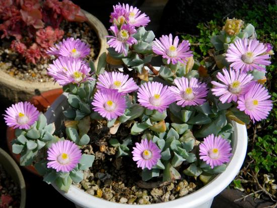 多肉植物の花、オスクラリア・白鳳菊、木立性マツバギクなど_a0136293_16321083.jpg