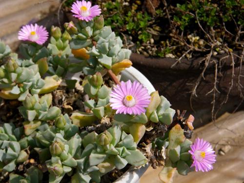 多肉植物の花、オスクラリア・白鳳菊、木立性マツバギクなど_a0136293_16345490.jpg