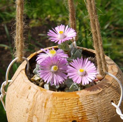 多肉植物の花、オスクラリア・白鳳菊、木立性マツバギクなど_a0136293_1639191.jpg