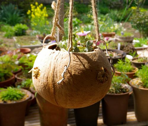 多肉植物の花、オスクラリア・白鳳菊、木立性マツバギクなど_a0136293_16402230.jpg