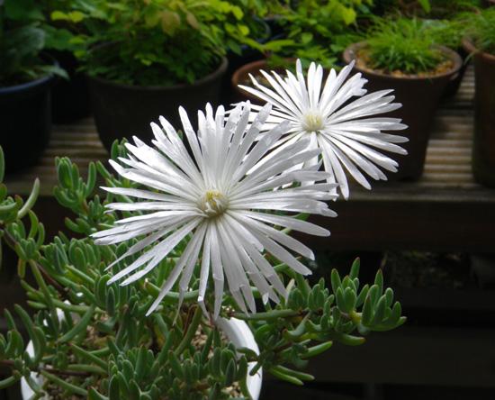 多肉植物の花、オスクラリア・白鳳菊、木立性マツバギクなど_a0136293_1650101.jpg