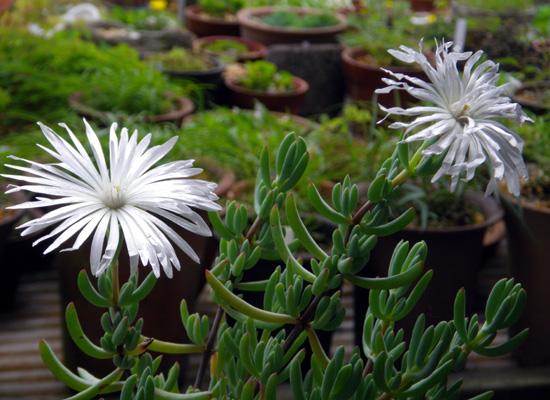 多肉植物の花、オスクラリア・白鳳菊、木立性マツバギクなど_a0136293_16535492.jpg