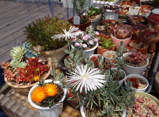 多肉植物の花、オスクラリア・白鳳菊、木立性マツバギクなど_a0136293_16595869.jpg