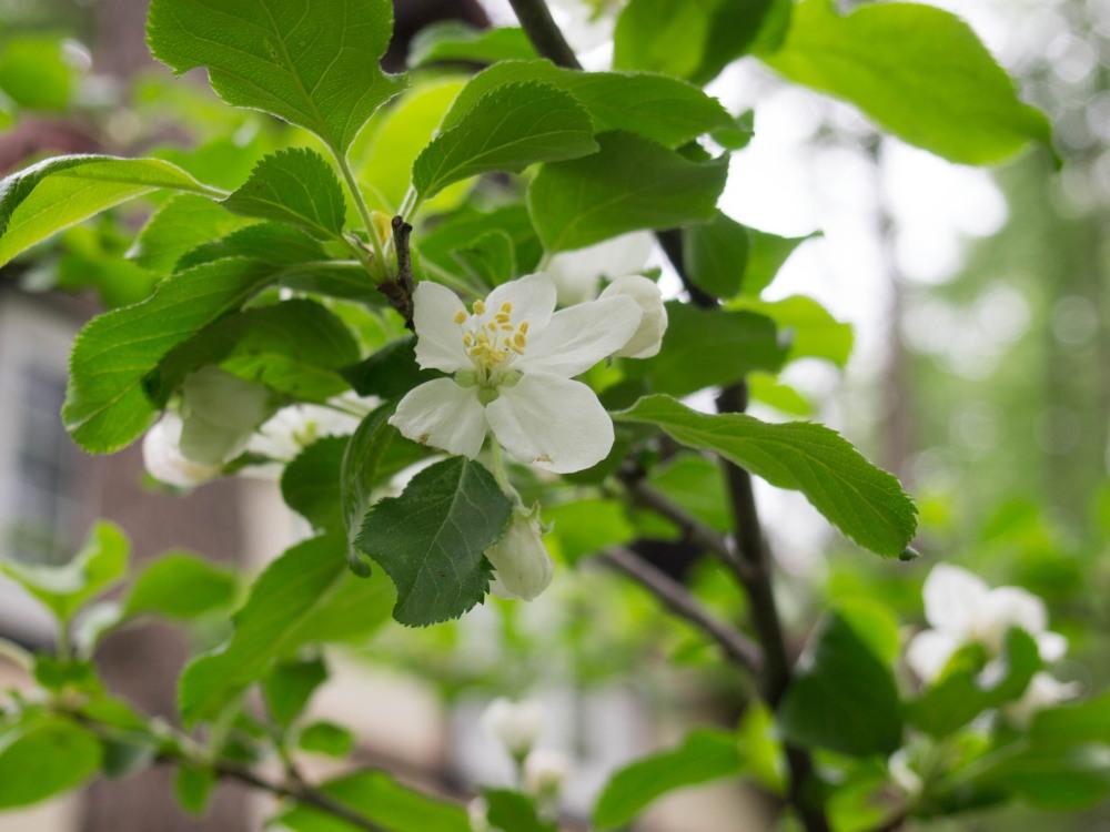 リンゴ(アルプス乙女)の白い花が久しぶりに咲きました。_f0276498_22422452.jpg
