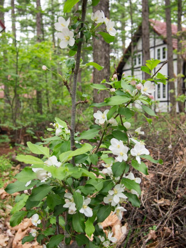 リンゴ(アルプス乙女)の白い花が久しぶりに咲きました。_f0276498_22424087.jpg