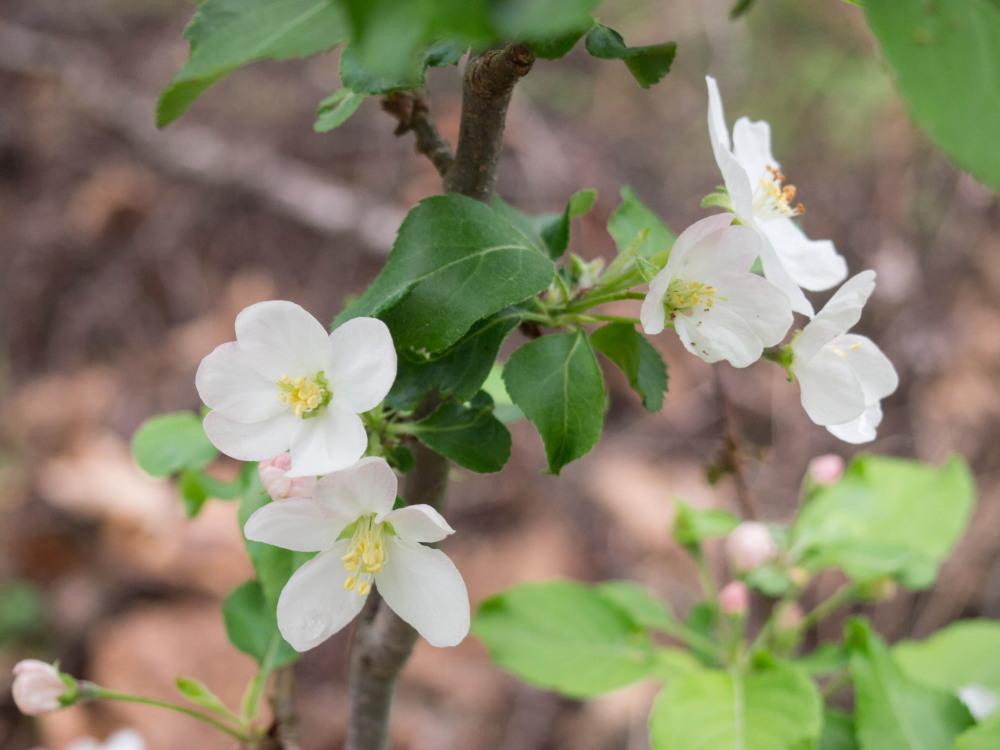 リンゴ(アルプス乙女)の白い花が久しぶりに咲きました。_f0276498_22425505.jpg