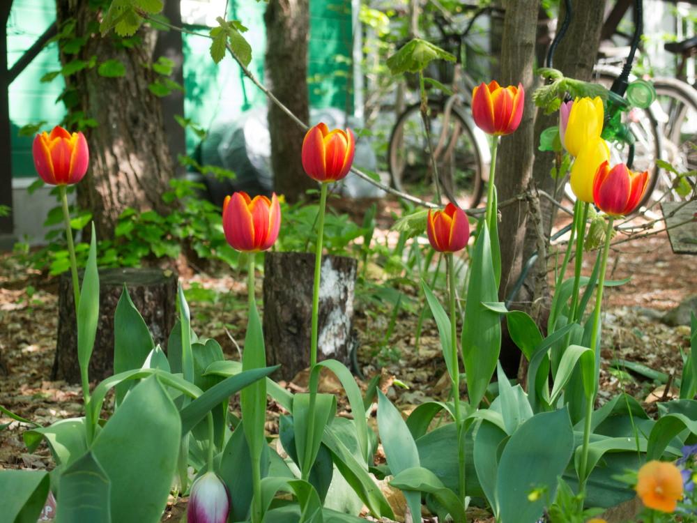 リンゴ(アルプス乙女)の白い花が久しぶりに咲きました。_f0276498_22443745.jpg