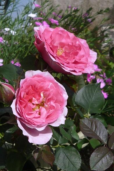 続園芸系 ・・・ やっとバラが咲き始めました_a0214206_22265499.jpg