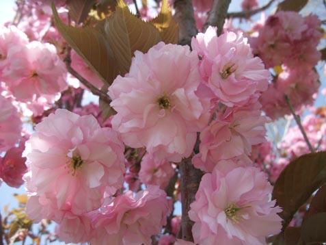 八重桜咲いています!_d0072917_2018164.jpg
