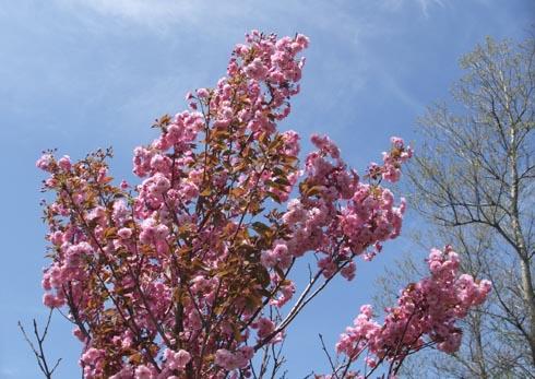 八重桜咲いています!_d0072917_2018920.jpg