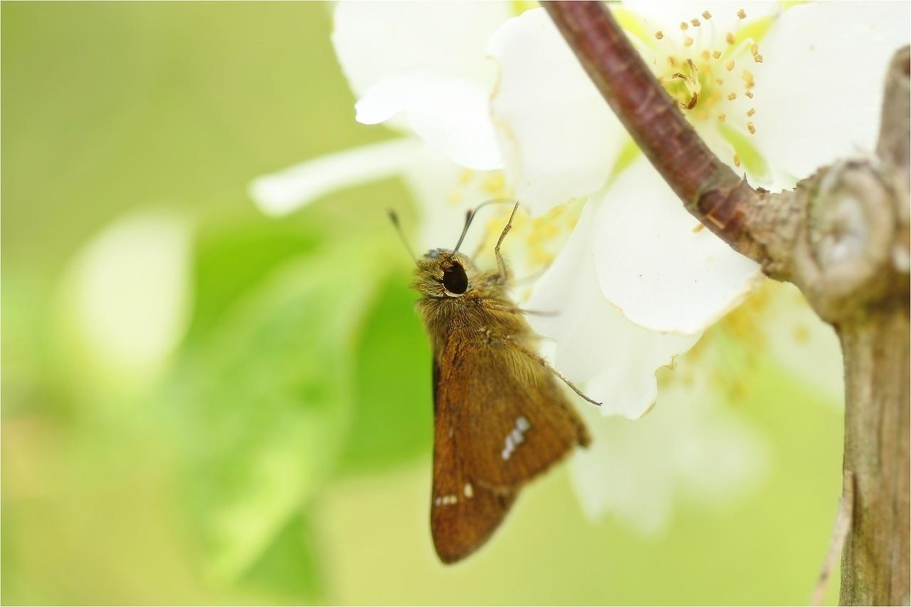 今日のお花と・・・セセリちゃんです。^^_c0188951_1822956.jpg