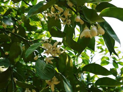 タネ無しかぼす 「種なしかぼす」の開花!今年も無農薬・無化学肥料で育てます!!_a0254656_1729493.jpg
