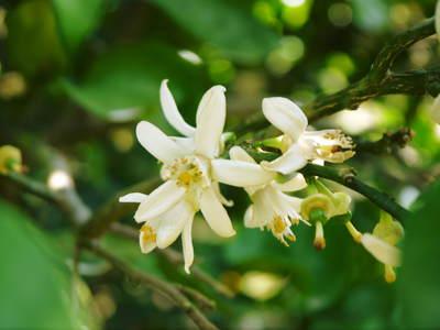 タネ無しかぼす 「種なしかぼす」の開花!今年も無農薬・無化学肥料で育てます!!_a0254656_17354739.jpg