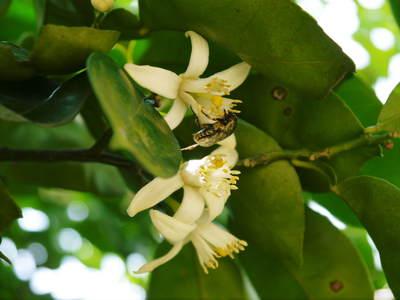 タネ無しかぼす 「種なしかぼす」の開花!今年も無農薬・無化学肥料で育てます!!_a0254656_17452838.jpg