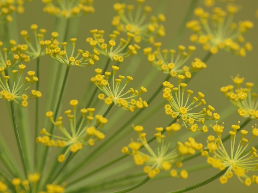 今日はセリ科の花を4種~♪』 : ...
