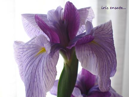 りりしく、端正な、虹の美神の花☆_c0098807_21495862.jpg