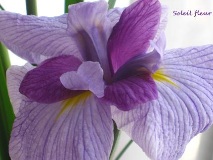 りりしく、端正な、虹の美神の花☆_c0098807_2211641.jpg