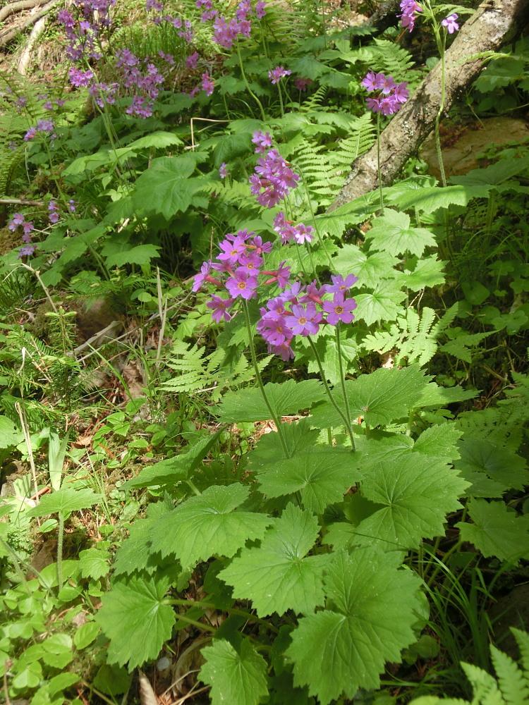 シノリガモ  アポイ岳の高山植物に逢う前に。 2014.5.25北海道04_a0146869_21571054.jpg