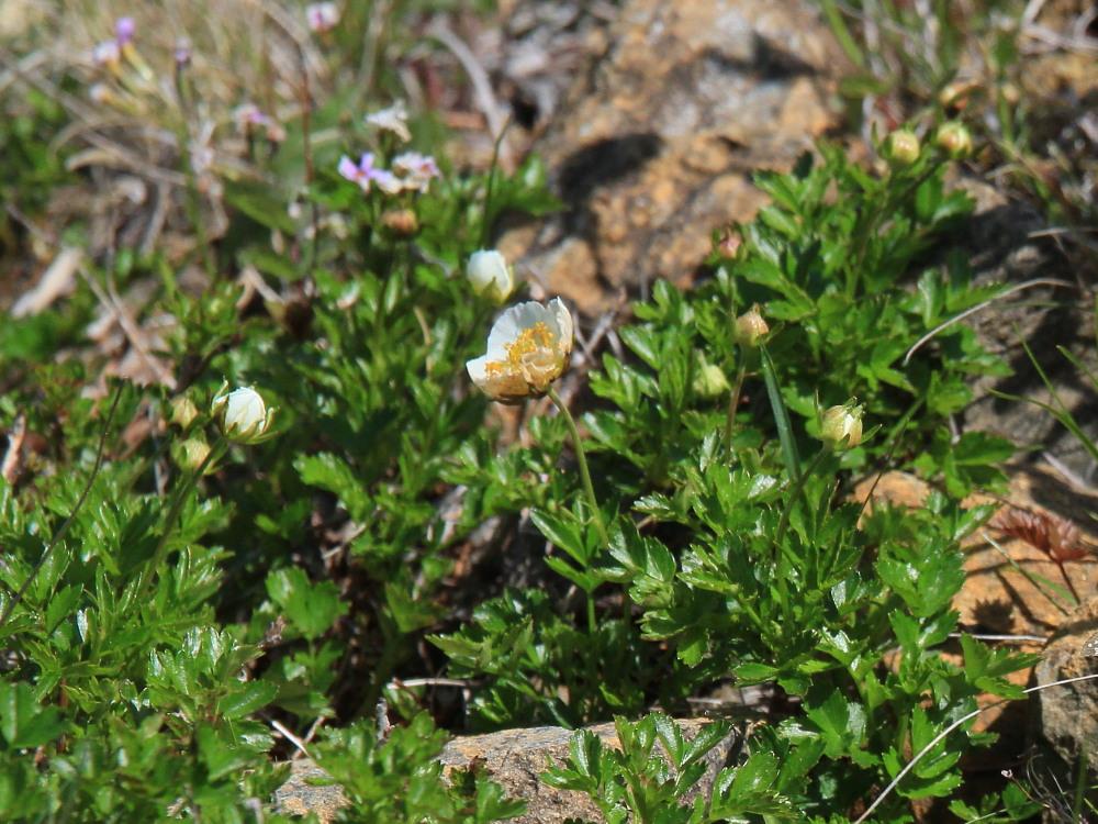 シノリガモ  アポイ岳の高山植物に逢う前に。 2014.5.25北海道04_a0146869_221412.jpg