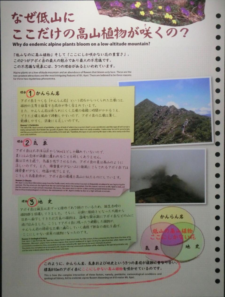 シノリガモ  アポイ岳の高山植物に逢う前に。 2014.5.25北海道04_a0146869_22145067.jpg