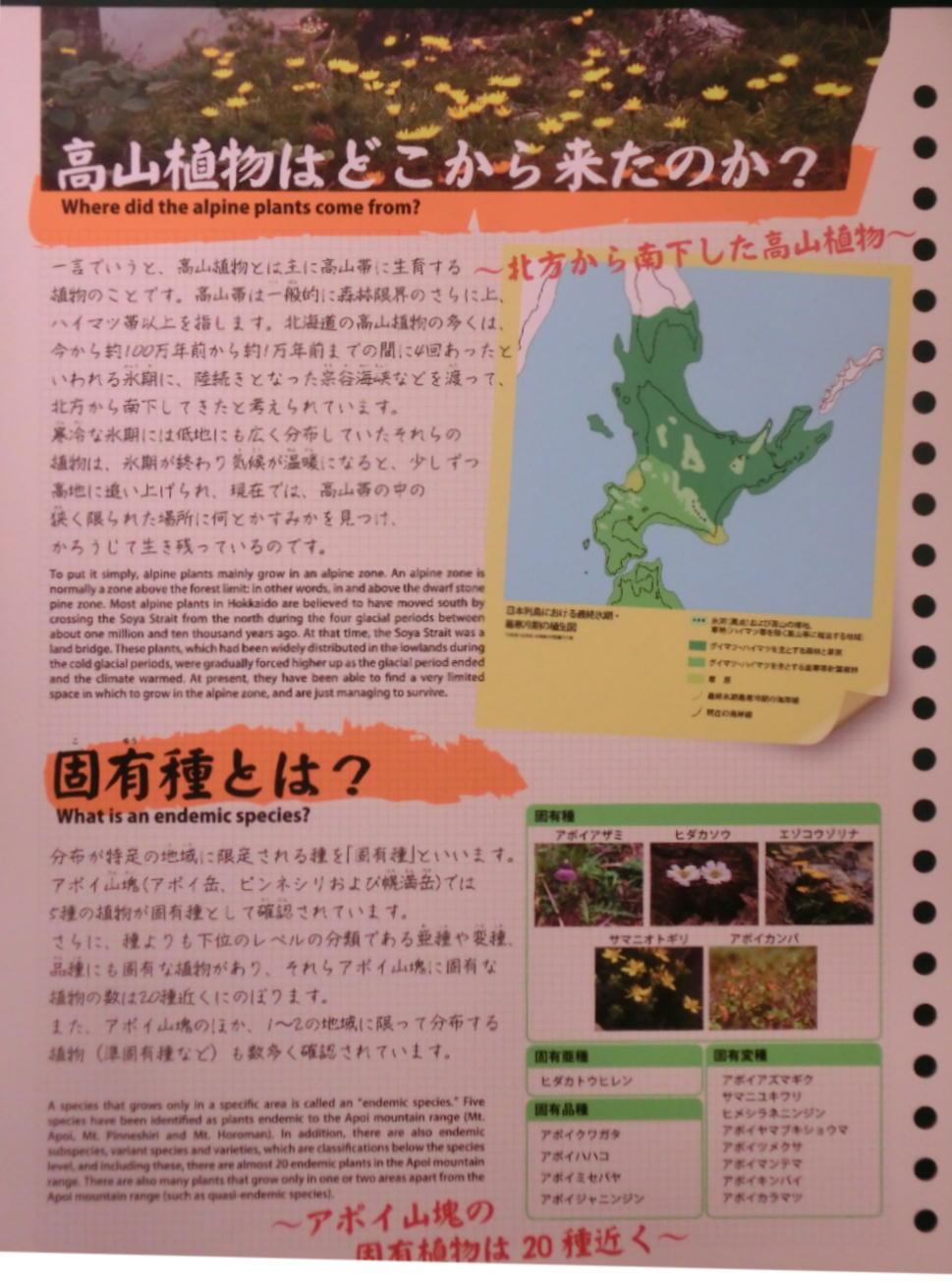 シノリガモ  アポイ岳の高山植物に逢う前に。 2014.5.25北海道04_a0146869_2215083.jpg