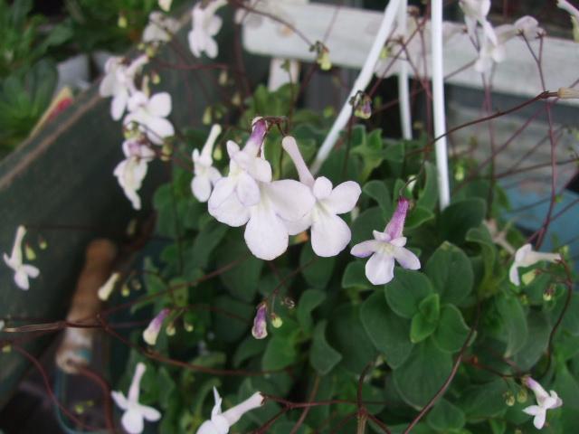 オークリーフ(実物と草花)_f0049672_16121491.jpg