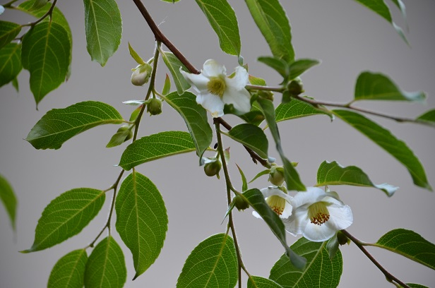 ヒメシャラの白いお花_d0230676_17174345.jpg