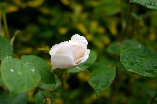 5月下旬の庭便り_d0129786_14422687.jpg