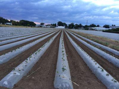 サツマイモの苗植え_d0152192_34191.jpg