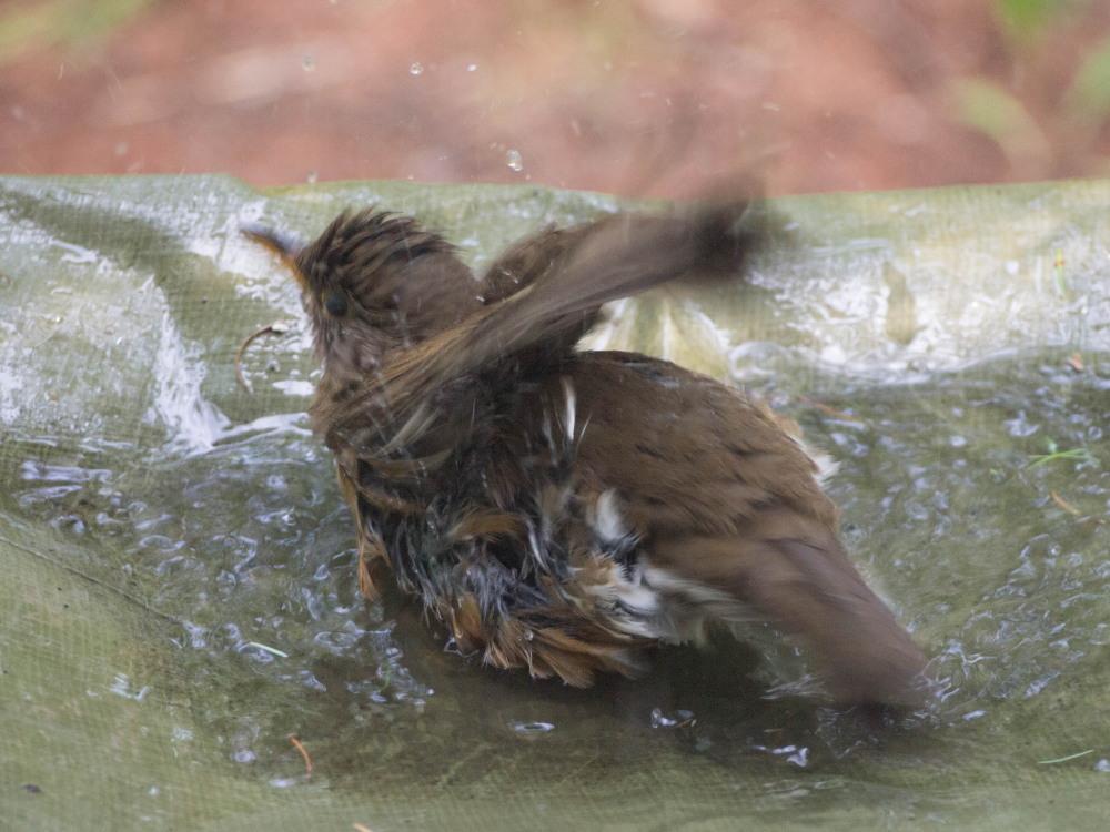 """あまりの暑さに・・""""ひばり""""ちゃん?水たまりで水浴び!_f0276498_23371140.jpg"""