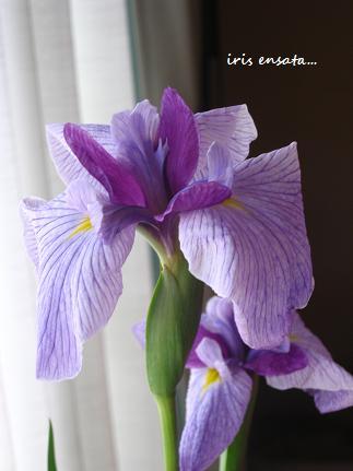 りりしく、端正な、虹の美神の花☆_c0098807_15443738.jpg