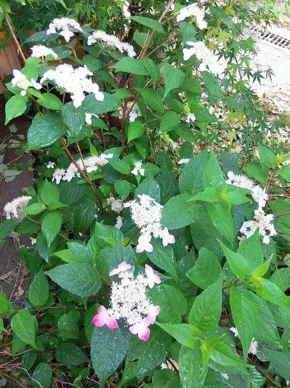 「紫陽花」の季節です。_a0125419_06011119.jpg