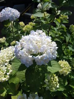 blog:ご近所の紫陽花_a0103940_12453617.jpg