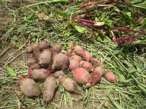 まだまだ定植 & 収穫物も増加中~_e0121558_22040116.jpg