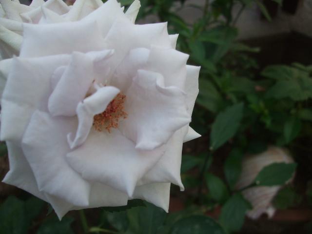 オークリーフ(5月のmygarden)_f0049672_1484699.jpg