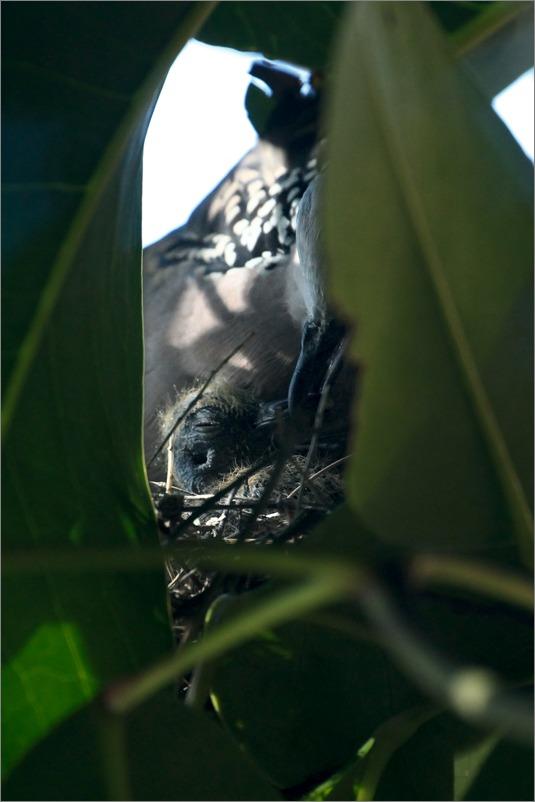 鳩の子育て定点観測 /2014.5.24_e0155629_10283921.jpg