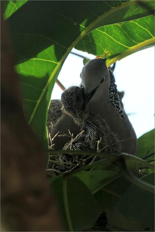 鳩の子育て定点観測 /2014.5.27_e0155629_10492122.jpg