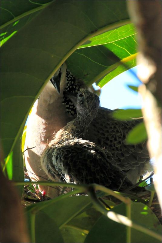 鳩の子育て定点観測 /2014.5.28_e0155629_11105722.jpg