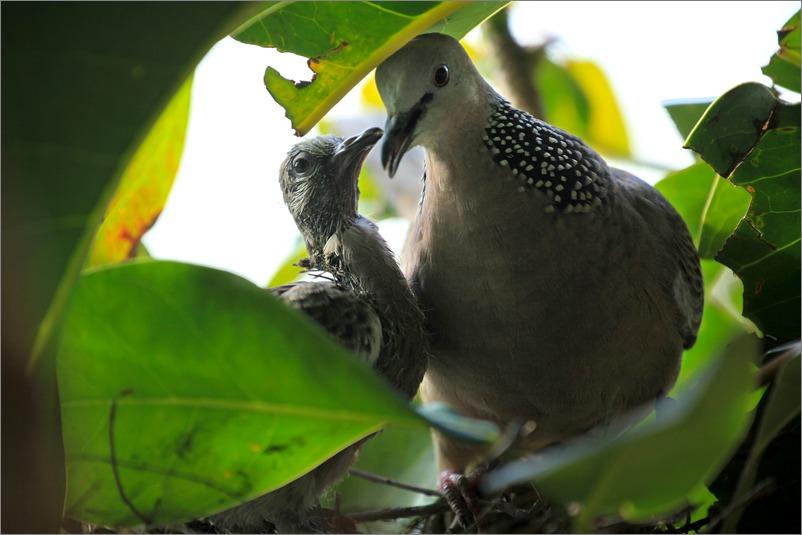 鳩の子育て定点観測 /2014.5.30_e0155629_1218896.jpg