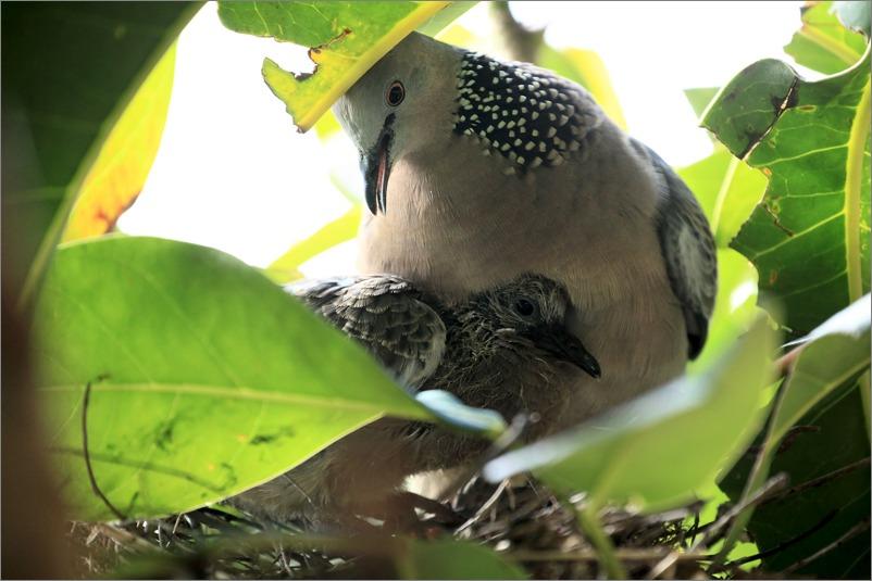 鳩の子育て定点観測 /2014.5.30_e0155629_12191850.jpg